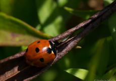Siebenpunkt-Marienkäfer (Coccinella septempunctata)