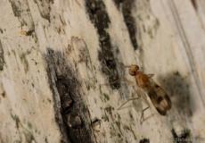 Scheufliege (vermutl. Suillia variegata)