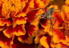 Listspinne (Pisaura mirabilis) auf Studentenblume
