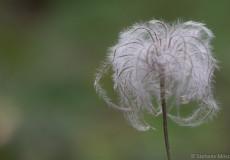 Ganzblättrige Waldrebe (Clematis integrifolia)