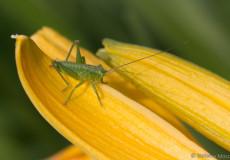 Grüne Heupferd (Tettigonia viridissima)