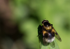 Hummel-Waldschwebfliege (Volucella bombylans)