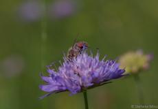 Westliche Honigbiene (Apis mellifera) auf Witwenblume