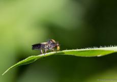 Schmuck-Rabaukenfliege (Holopogon nigripennis)