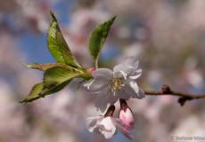 Higan-Kirsche (Prunus subhirtella 'Autumnalis')