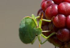 Grüne Stinkwanze (Palomena prasina) – Larve
