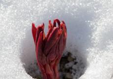 Korallen-Pfingstrose (Paeonia mascula)