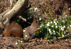 Eichhörnchen in Märzenbechern