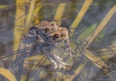 Erdkröten (Bufo bufo) beim Ablaichen