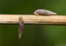 Schließmundschnecken (Clausiliidae)
