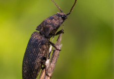 Mausgrauer Schnellkäfer (Agrypnus murinus)