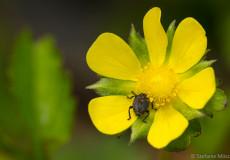 Rüsselkäfer (Curculionidae) auf Scheinerdbeere (Potentilla indica)
