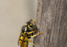Deutsche Wespe (Vespula germanica) nagt Holzfasern