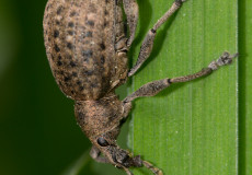 Würfelfleckiger Staubrüssler (Liophloeus tessulatus)