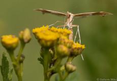 Federmotte (Gillmeria pallidactyla)