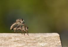 Raubfliegen (Asilidae) Paarung