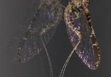 Fliegenhaft (Coleon dipterum)