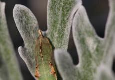 Kohlweißling (Pieris spp.) – Puppe