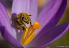 Westliche Honigbiene (Apis mellifera) auf Krokus