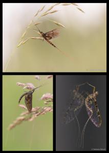 Collage Eintagsfliegen