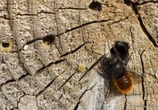 Gehörnte Mauerbiene (Osmia cornuta) – Männchen