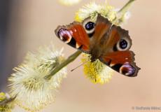 Tagpfauenauge (Inachis io) auf Weide