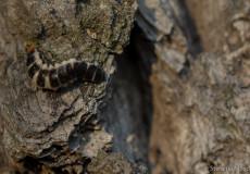 Rüssel-Rotdeckenkäfer (Lygistopterus sanguineus) – Larve