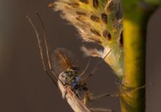 Zuckmücke (Chironomidae) auf Weide