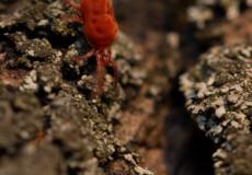 Rote Samtmilbe (Trombidium holosericeum)