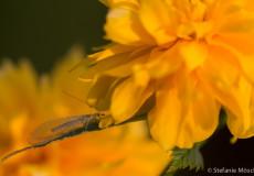 Florfliege (Chrysopidae) auf Ranunkelstrauch