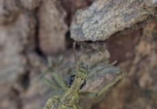 Laubholz-Zangenbock (Rhagium mordax)