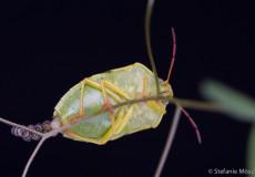 Ginsterwanze (Piezodorus lituratus)