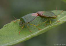 Grüne Stinkwanze (Palomena prasina) – Paarung