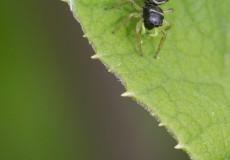 Springspinne (vermutl. Heliophanus cupreus)