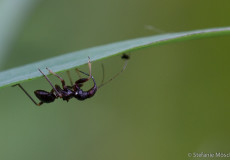 Ameisensichelwanze (Himacerus mirmicoides) Larve