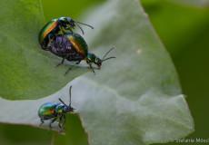 Grüner Sauerampferkäfer (Gastrophysa viridula)
