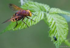 Hornissen-Schebfliege (Volucella zonaria)