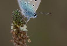 Hauhechel-Bläuling (Polyommatus icarus) – Männchen