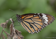 Common Tiger (Danaus genutia)