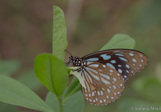 Ideopsis similis